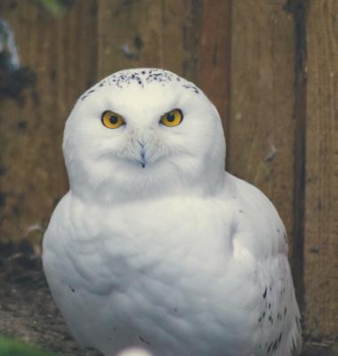 Белая сова Белая сова глаза