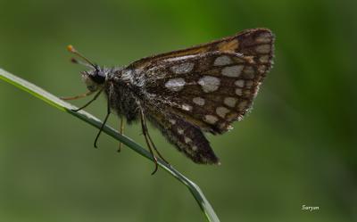 Толстоголовка палемон лето трава бабочка