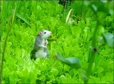 А где-то лето... Крыса салат лето