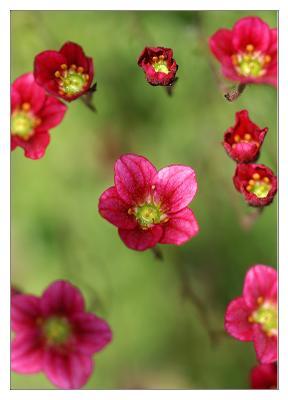 В невесомости цветы камнеломка заполярье