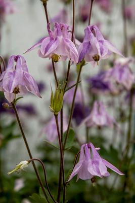 Колокольчики. цветы лето