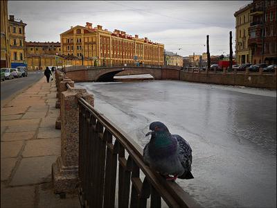 ** голубь ждет  весну* лед.весна.канал.голубь замерз