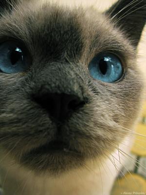 Мр? кот; котик; голубые глаза