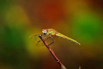 вертолётик макро макрофото стрекоза насекомые