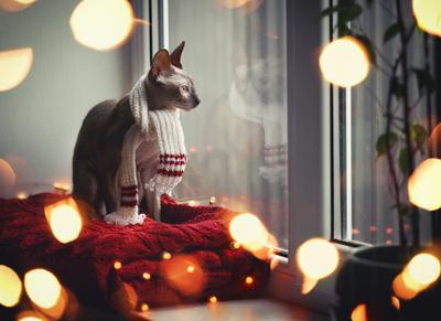 мечтательница кошка сфинкс новыйгод
