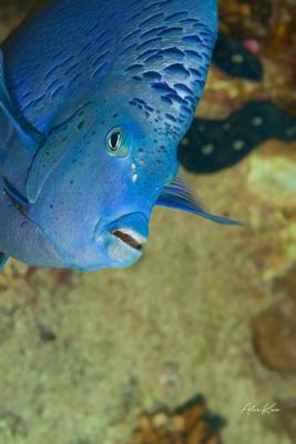 Yellowbar angelfish is interesting corals diving fish macro nature ocean photography photos sea underwater water world рыбы море океан дайвинг подводная фотография