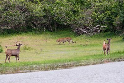 Первая встреча... Последняяя встреча... леопард олени leopard deers