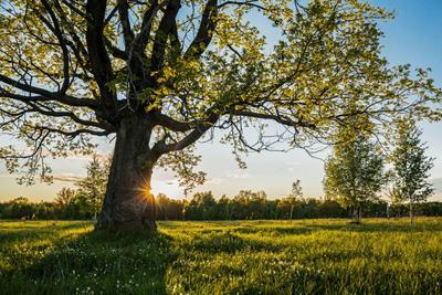 *** природа пейзаж лето.вечер дерево дуб татарстан красницкий