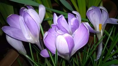 Крокус первоцветы крокус