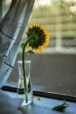 Farewell Summer... Натюрморт подсолнух дождь окно