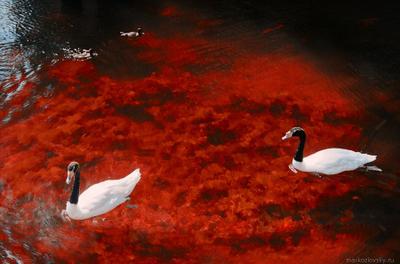 """Лебеди в """"Нескучном саду"""" птицы лебеди озеро"""