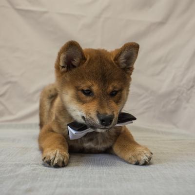 Красавчиг собаки Япония сиба-ину самурай шиба щенок малыш