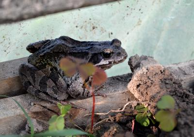 Лягушка-путешественница лягушка путешественница дача природа
