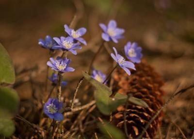 *** цветы перелески печеночница лес весна природа