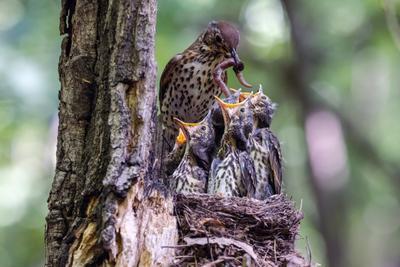 Кому первому дать? Вот в чем вопрос... дрозд певчий Turdus philomelos птенцы гнездо птицы птица пернатые