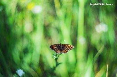 Бабочка TangodeZorros Бабочка Природа Тольятти