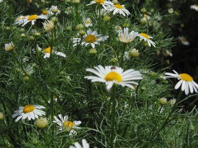 Ромашки. ромашка зеленый желтый фото макро новый лето радость букашка жук