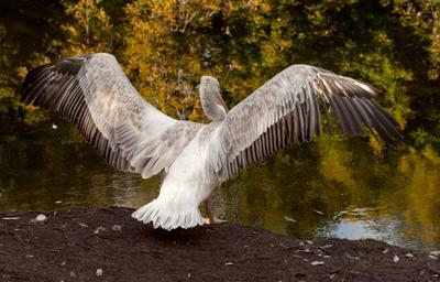 Здравствуй, осень! птицы пернатые пеликан осень
