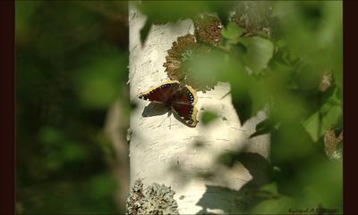 никто не заметит! *:) Бабочка траурница на берёзоньке Коми Африканское Макро