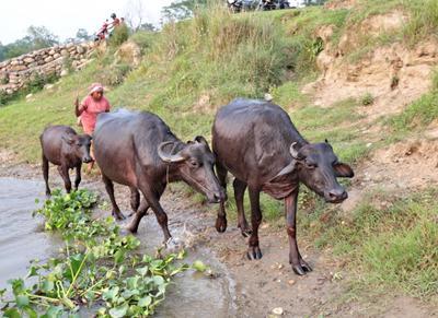 А ну, пошли домой! Непал Саураха буйволы