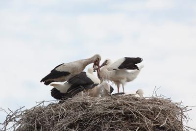 Папа с рыбалки вернулся птицы аисты природа гнездо потомство размножение семья птенцы
