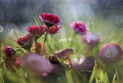 королева маргариток жаба цветы лето боке природа макро маргаритки