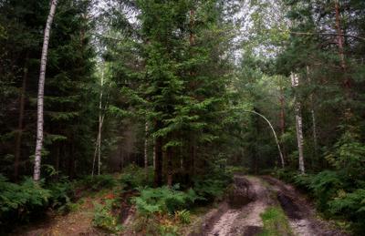 Чем дальше в лес... лес осень дорога тропинка ель