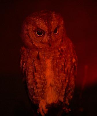 Сплюшка сова, сплюшка, мудрая, задумчивая, ночная, птица