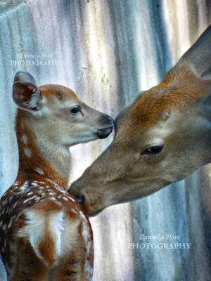 Материнская забота Животные косуля пятнистый олень фото зоо зоопарк Lunnika-Horo photo mom s care nature animal cute kind