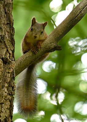 Любопытная белка Белка лес дерево лето природа