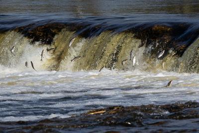 Водный барьер. рыба нерест река
