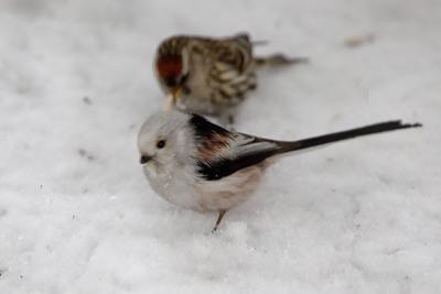 Не пара птица ополовник снег