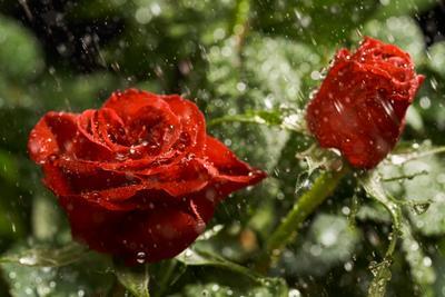 Настроение московского лета. розы дождь