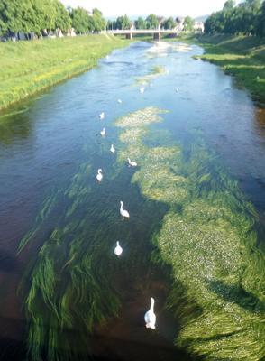 Лебеди в Германии строго соблюдают социальную дистанцию ...