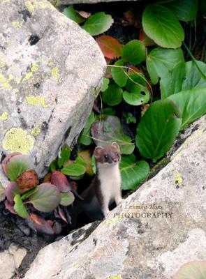 Ласка Ласка Алтай Lunnika-Horo nature weasel Altay природа фотография photography любопытный
