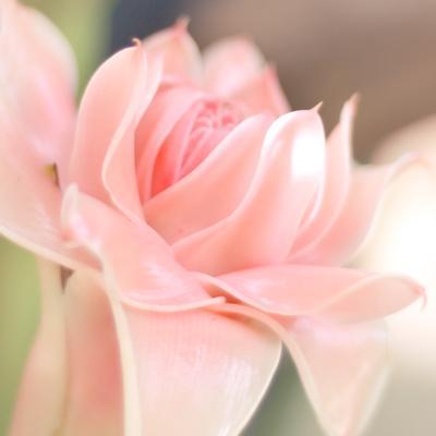 поцелуй в глуши тропиков Цветок бамбука