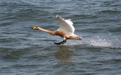 На посадку птицы лебеди кликуны море Охотское