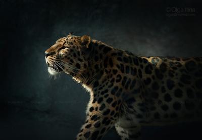 Амурский леопард дальневосточный леопард амурский