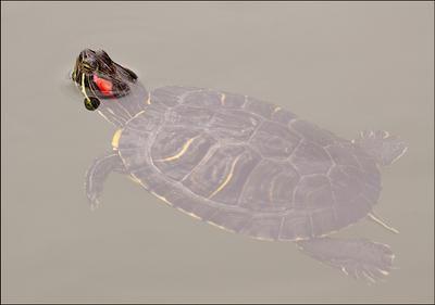 Подмосковная черепашка пруд черепаха Тортилла Красноухая Trachemys scripta кто живёт в пруду