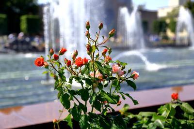 Цветы у фонтана Москва ВДНХ цветы фонтан
