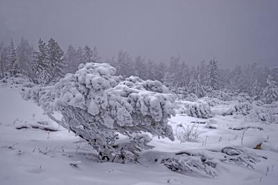 На перевале. Бурятия Ноябрь Сосна