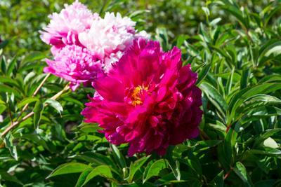 Пионы пионы цветы тамбов
