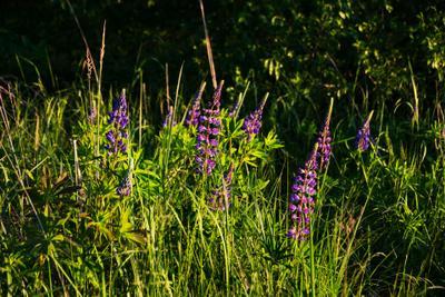 Люпиновый рай пейзаж природа лето вечер поляна опушка лес люпины Воронеж