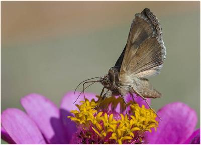 Бражник бражник бабочка