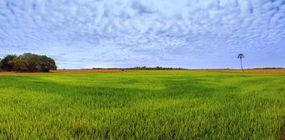 Камбоджа.Рисовое поле