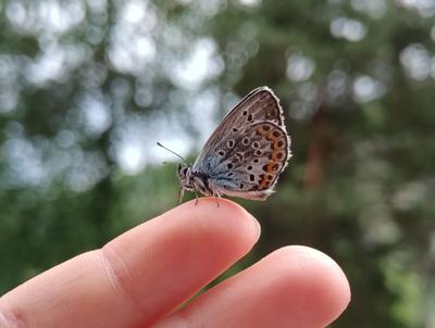 Мотылёк Бабочка голубая бабочка голубой мотылёк на пальцах руке