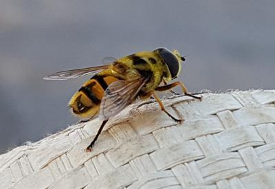 Пчела насекомые пчела