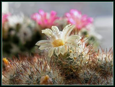 Солнце, воздух и вода Весна кактусы мамиллярия цветок капли солнце