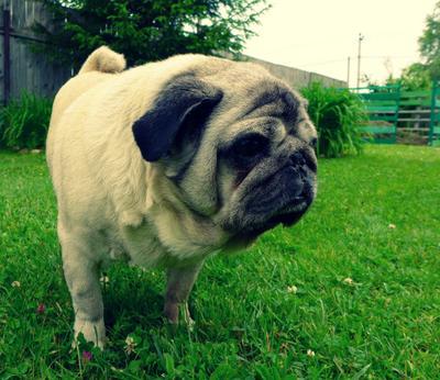 Тоска собачья Мопс собака скучает лето