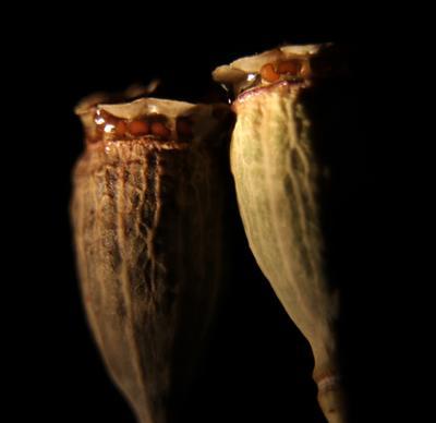 Коробочки мака с семенами. Шаварёв природа фотография